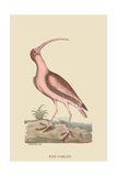 Red Curlew Pôsters por Mark Catesby