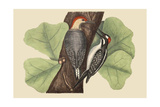 Red Bellied Woodpecker Posters por Mark Catesby