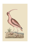 Red Curlew Posters por Mark Catesby