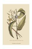 Vanila Plant Pôsters por Mark Catesby