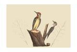 Yellow Bellied Woodpecker Pôsters por Mark Catesby