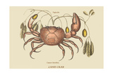 Land Crab Kunst von Mark Catesby