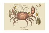 Land Crab Arte por Mark Catesby