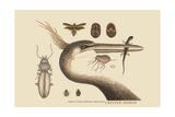 Large Cested Heron Arte por Mark Catesby