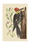 Large Red Crested Woodpecker Pôsteres por Mark Catesby