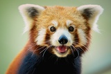 Happy Red Panda Lámina fotográfica por aaronchengtp photography
