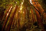 Muir Woods Fotografie-Druck von Allen Parseghian