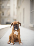 2 Month Old Boxer Puppy Standing in Alley Fotoprint van Diyosa Carter