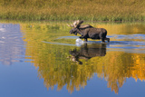Bull Moose in Grand Teton NP in Autumn Photographic Print by Russell Burden