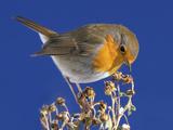 Robin in Front of a Blue Sky Reproduction photographique par Willi Schmitz