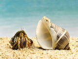 Hermit Crab Looking at Larger Shell Fotografie-Druck von Jeffrey Hamilton
