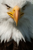 Close up of Bald Eagle Lámina fotográfica por Lynn Koenig