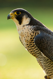 Peregrine Falcon (Falco Peregrinus) Portrait Reproduction photographique par Olaf Broders
