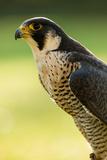 Peregrine Falcon (Falco Peregrinus) Portrait Fotoprint av Olaf Broders