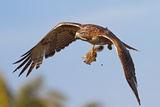 Red-Tailed Hawk with Baby Squirrel Reproduction photographique par  bmse