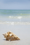 Usa, Florida, St. Petersburg, Conch Shell on Beach Lámina fotográfica por Vstock LLC
