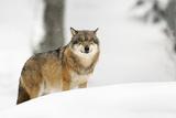 Snow Wolf Fotografie-Druck von Marco Pozzi Photographer