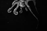 Blæksprutte Fotografisk tryk af arnon toussia-cohen
