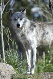 Wolf Fotografie-Druck von Nathan Blaney