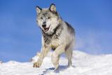 Wölfe Fotografie-Druck von Frank Lukasseck