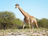Wild Giraffe in African Savanna, Etosha N.P., Namibia Fotografisk trykk av  DmitryP