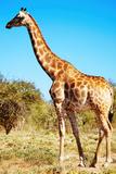 Wild Giraffe Fotografisk trykk av  DmitryP