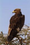 African Hawk Eagle Reproduction photographique par  DR_Flash
