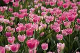 Tulip Field 14 Fotografie-Druck von  ErikdeGraaf