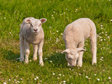 Two Little Lambs in A Dutch Meadow Impressão fotográfica por Ruud Morijn