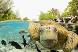 Face to Face with Green Sea Turtles Fotografie-Druck von Michele Westmorland