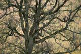 Leafless Oak Tree Treetop in Autumn Fotoprint av Olaf Broders