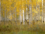 Autumn in Uinta National Forest. A Deer in the Aspen Trees. Toile tendue sur châssis par Mint Images - David Schultz