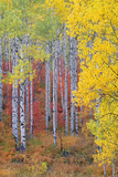 A Forest of Aspen Trees in the Wasatch Mountains, with Striking Yellow and Red Autumn Foliage. Photographic Print by Mint Images - David Schultz