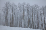 Grove of Aspen Trees in Snowstorm Photographic Print by Karen Desjardin