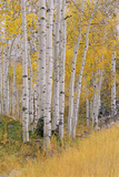Aspen Trees in Autumn with White Bark and Yellow Leaves. Yellow Grasses of the Understorey. Wasatch Premium Photographic Print by Mint Images - David Schultz