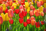 Field of Red and Yellow Tulips Photographic Print by Photo by Ira Heuvelman-Dobrolyubova