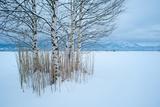 Birch Tree Group in Front of Bavarian Alps Fotoprint av Olaf Broders