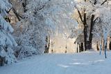 Christmas Morning. Snowy Winter Forest and Knurled Wide Trails. Lámina fotográfica por  kavram