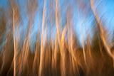 Birch Tree Trunks in Soft Evening Light Fotoprint av Olaf Broders