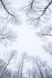 Birch Trees in the Snow, Kiruna, Sweden Fotoprint av David Clapp