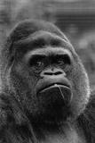 Guy the Gorilla Lámina fotográfica por M. Fresco