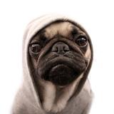 Thug Pug Photographic Print by CJ Foeckler