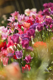 A Multicolor Patch of Blossoming Tulips Photographic Print by Maria Mosolova