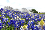 Bluebonnets Photographic Print by Robert W. Hensley