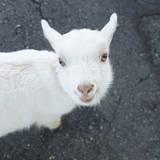 A Goat Photographic Print by Tsuneo Yamashita