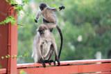 Wild Monkeys in My Garden Stampa fotografica di Virginie Blanquart