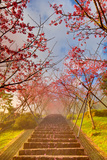 Cherry Blossom Tunnel Photographic Print by Wan Ru Chen