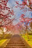 Cherry Blossom Tunnel Valokuvavedos tekijänä Wan Ru Chen