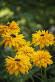 Black-Eyed Susan Flowers Blooming in Summer Photographic Print by Maria Mosolova