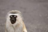 Portrait of a Vervet Monkey (Chlorocebus Pygerythrus). Kruger Park, South Africa. Stampa fotografica di Kerstin Geier